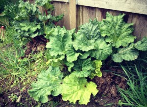 My rhubarb patch is growing very well!