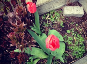 The tulips started to bloom this morning, too. So full of the promise of Spring!