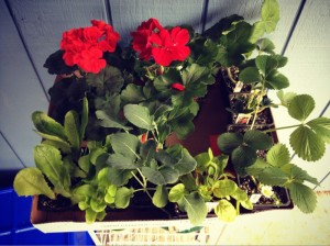4 strawberry plants, 4-pack broccoli, 4-pack romaine, 4-pack lettuce, rainbow chard & 2 gorgeous geraniums (for the patio pots).