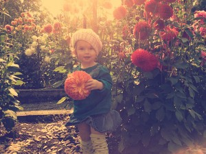 Phoebe in the dahlias at Point Defiance Park