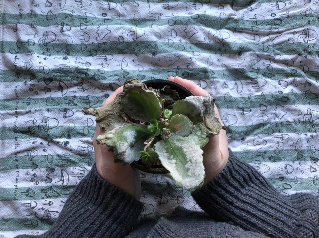 Kalanchoe dead plant overwaterred